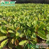 日本厚朴小苗出售 厚朴树苗价格 花香品种 日本厚朴籽播苗