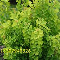 金叶黄栌小苗出售 金叶黄栌树苗价格 黄栌图片 优良彩叶树种