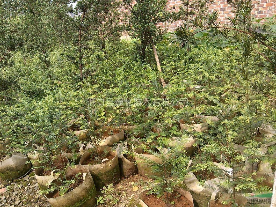 吉祥树的养殖方法
