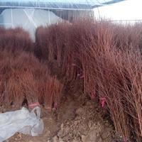 水杉苗批发供应、50-2米高水杉苗价格、水杉图片、水杉基地