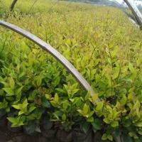 【常见高档小区地被植物】丛生福禄考,大花六道木,日本矮麦冬等