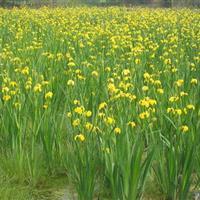 各种水生植物 黄菖蒲 黄花鸢尾