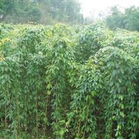 沭阳恒景园林供应油麻藤树苗