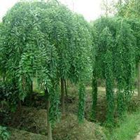 园林绿化  垂槐垂槐树苗  龙爪槐 垂槐小苗 造型龙爪槐