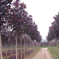 沭阳恒景园林供应红叶杨小苗