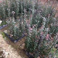 红枫小苗、紫薇小苗、红叶小檗、红王子锦带、红叶石楠