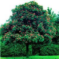 园林绿化红花七叶树 1-15公分 七叶树
