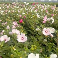 沭阳园林供应大花秋葵