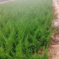 30-40-50高优质龙柏便宜卖了,江苏龙柏种植基地、小龙柏
