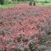 供应30-50公分高红叶小檗色块苗、80-1.2米红叶小檗球