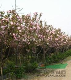 供应合欢、栾树、紫薇、红叶李、樱花、法桐、银杏