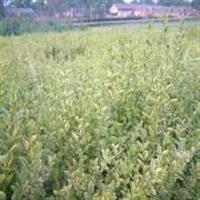 供应金边黄杨、蜀桧、塔柏、红叶小檗、大小叶黄杨、红叶石楠