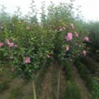 供应独杆木槿、青皮竹、丰花月季、卫矛、连翘、碧桃、丁香