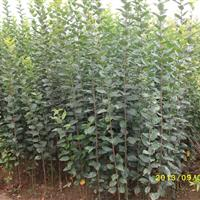 海棠苗*新上市價格便宜:垂絲海棠苗、西府海棠苗、紅寶石海棠苗
