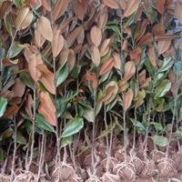 廣玉蘭苗價格供應/廣玉蘭苗圖片供應/廣玉蘭小苗種植基地