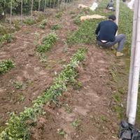 大叶黄杨种苗