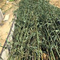 安吉竹盛供应斑竹 湘妃竹另有淡竹早园竹高节竹紫竹等绿化竹苗