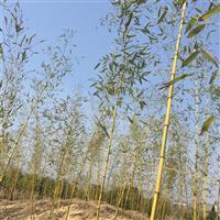 安吉基地供应金明竹 另有刚竹紫竹红竹雷竹等近百种绿化竹苗