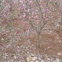 海棠基地低價供應垂絲海棠,紅楓,桂花,廣玉蘭