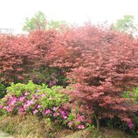 红枫价格 批发各种规格红枫