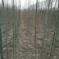 金叶复叶槭  青竹复叶槭  复叶槭价格