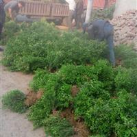 30高以上瓜子黄杨批发供应:江苏瓜子黄杨价格、*瓜子黄杨图片