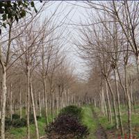 光皮树胸径8-12CM