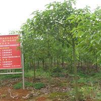 常年供应香樟,猴樟,价格从优