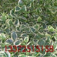 H30-40花叶蔓长春藤