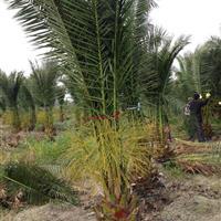 漳州地区供各种园林绿化苗加拿利海枣
