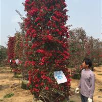 漳州地区供应造型三角梅