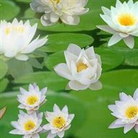 植物睡莲,睡莲种苗,别名:子午莲、水芹花、瑞莲、水洋花