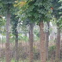 欒樹價格--江蘇欒樹種子批發,欒樹小苗供應