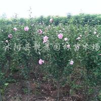 红花木槿基地,重瓣木槿价格,江苏木槿1-6公分