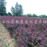 红叶小檗球,红叶小檗小苗价格 红叶小檗籽播苗