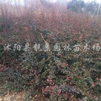 江苏宿迁火棘价格 .小丑火棘50公分高 .红果火棘基地