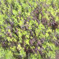 小叶扶芳藤扦插种苗--萧山扦插种苗基地
