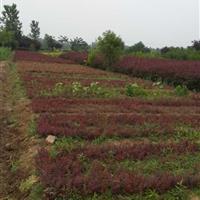 红叶小檗小苗,竹子,红瑞木价格,白蜡小苗,国槐小苗,法桐小苗