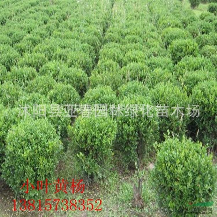 基地直销黄杨种子别称山黄杨千年矮小叶黄杨百日红万年青