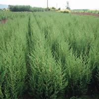 供應蜀檜、北京檜、紅楓、黃金槐、雪松、欒樹,玉蘭
