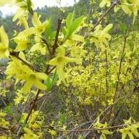 供應海桐、連翹、南天竹、衛茅、蜀檜、紅葉小檗、月季