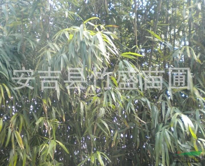 安吉供应茶秆竹 另有紫竹斑竹毛竹刚竹等绿化竹苗