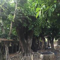 漳州市漳浦县沙西镇出售自家苗场移植大叶榕