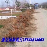 绿叶水腊30-60公分价格,水腊苗种植 ,绿叶水腊苗批发