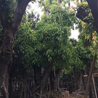 漳州地区供应自家苗场出售大叶榕