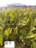 浙江紫芋信息