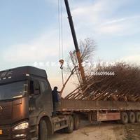 安徽肥西 烏桕 供應商