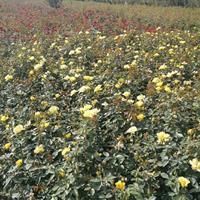 黄帽月季价格-黄帽月季图片-黄帽月季产地-黄帽月季绿化苗圃