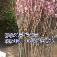 浙江地区供应郁李P1米-1.2米
