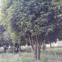 湖北咸宁艺家百年苗木基地供应3米冠幅丛生八月桂。